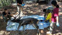 Kasihan, Rusa Ini Mati Dengan 7 Kilogram Sampah Plastik di Dalam Perutnya 2