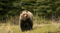 Serang Dua Orang Pendaki, Seekor Beruang Dihukum Mati 1