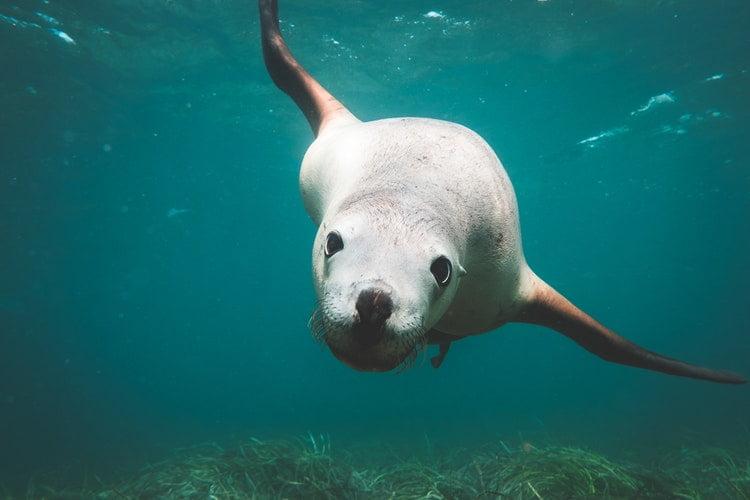 Singa laut, hewan lucu Australia yang harus kamu temui saat berkunjung ke negeri kangguru! (net)
