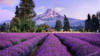 Ladang lavender terindah di dunia (NET)