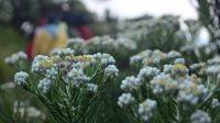 Petik bunga edelweis di Taman Nasional Gunung Rinjani dilarang (NET)